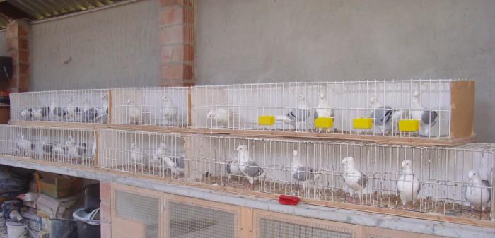 Bertus duiven