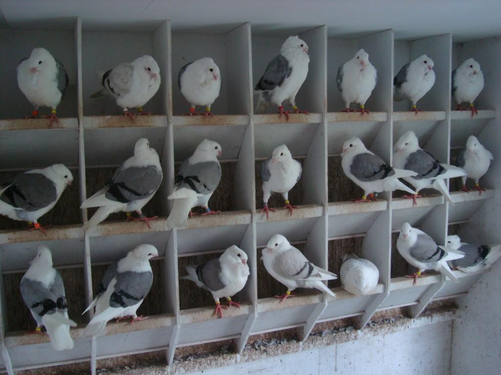 Jonge duiven afdeling, met aan weerszijden een loketkast
