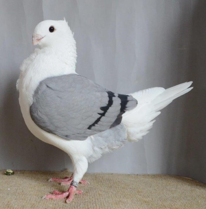 Mooiste OH Meeuw duivin JDD Apeldoorn