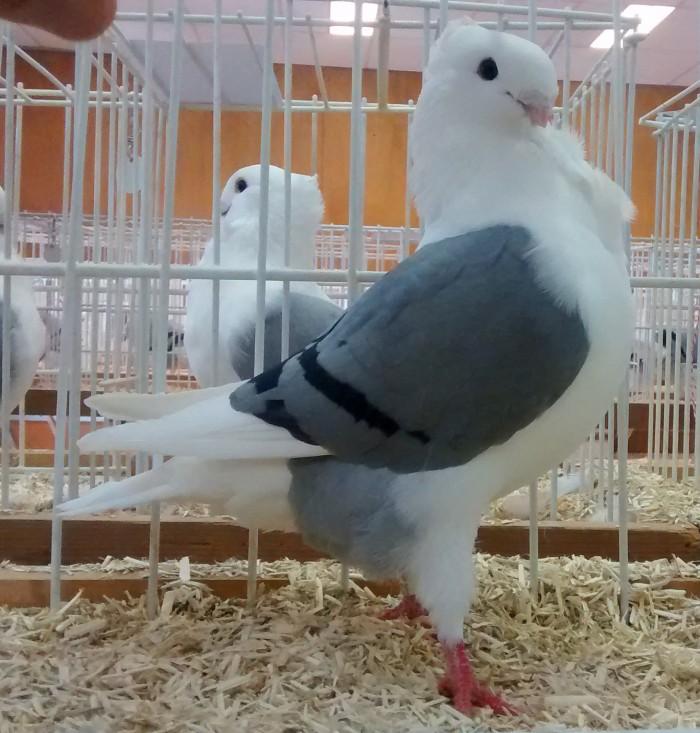 3229 Jonge duivin